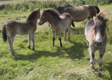 Ponies on Exmoor