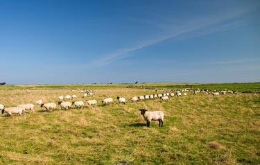sheep in a line in northumberland