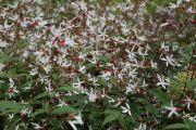 gillenia-trifoliata